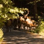 Wild Elk