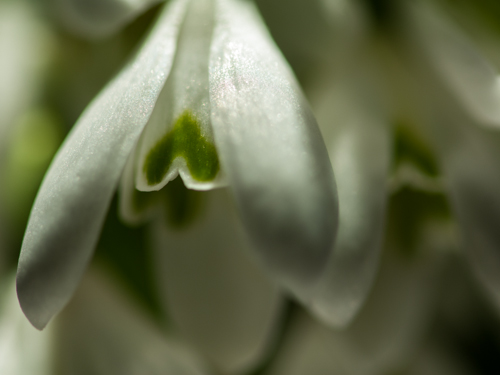 Snowdrop I