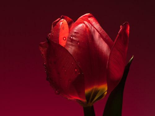 Red Tulip1
