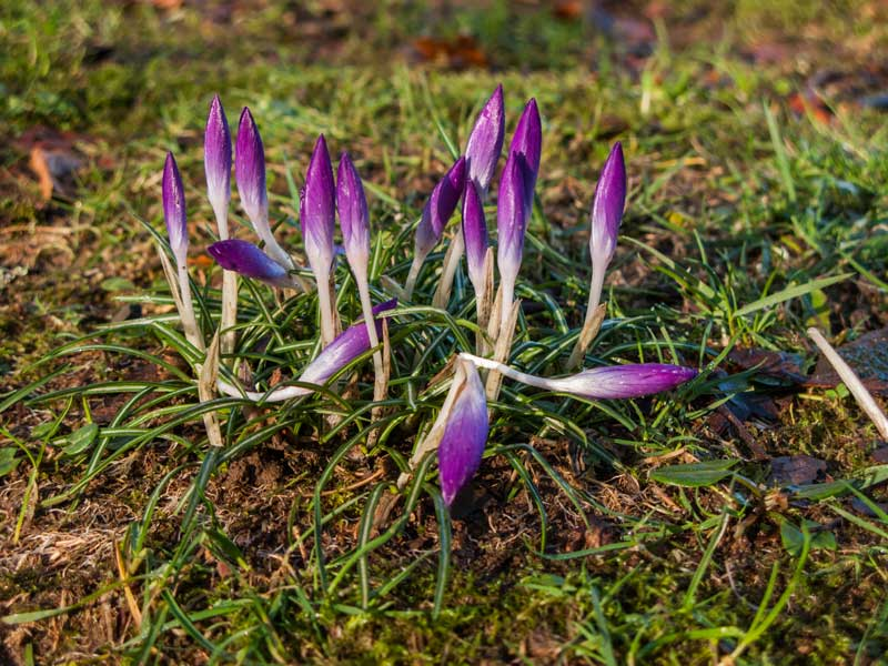 Stand of Crocus